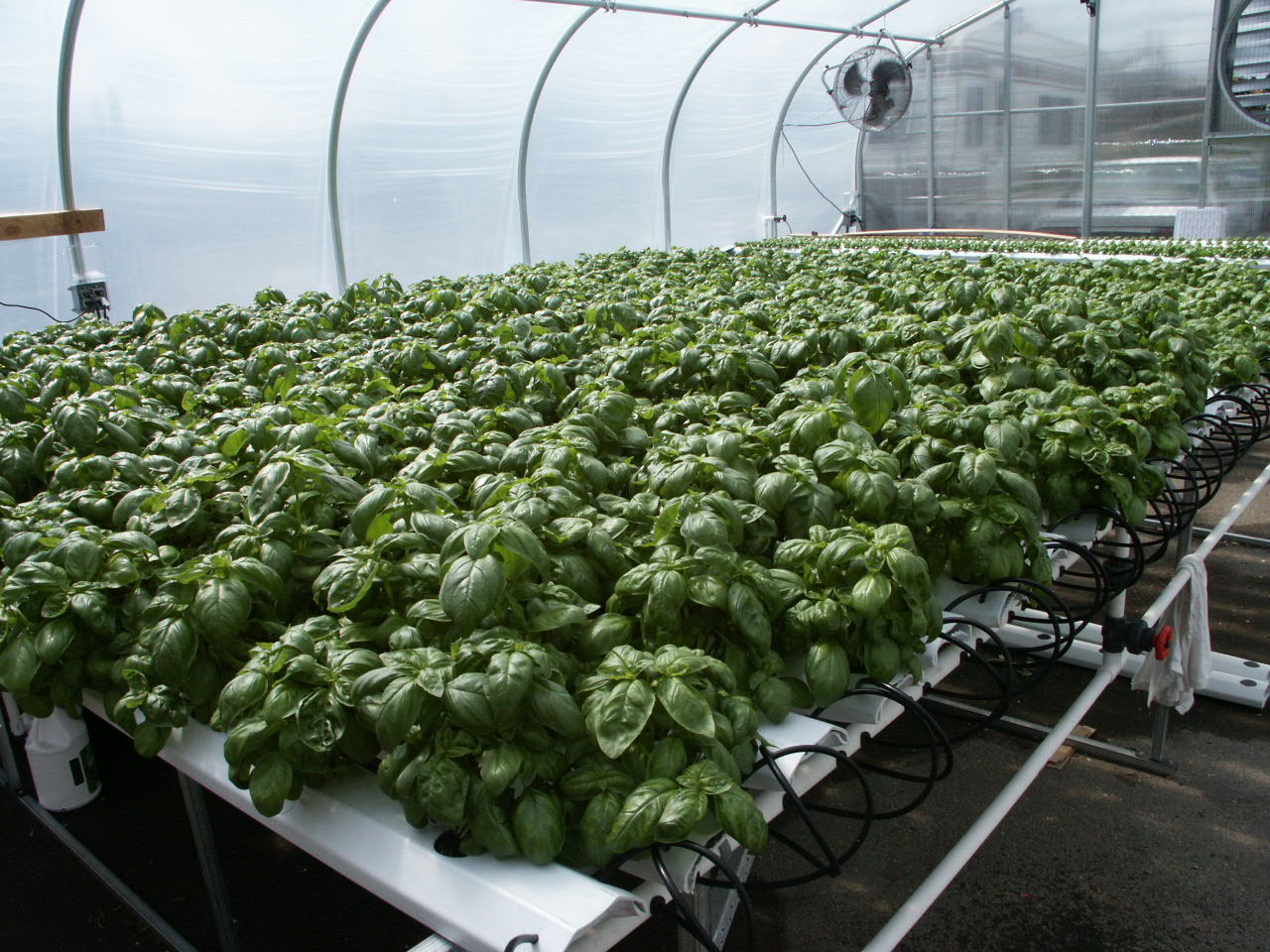 American Hydroponics Standard Commercial NFT Growing System - Basil